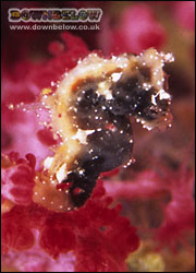 New Species of Pygmy Seahorse Discovered - Hippocampus sp
