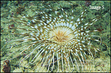 Tube worms are often confused with the Tube Anemone, however they are a completely different animals