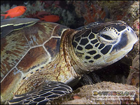 Green turtle - note the edge of one of the two scales between the eyes
