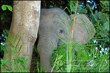 A Shy Pigmy Elephant peaking out from behind some Kinabatangan River shrubs