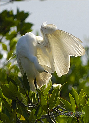 An Egret at the KK Wetland Centre