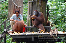 Feeding Time at the Orang Utan Sanctuary