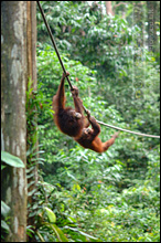 Sepilok Orang Utan Sanctuary - Just Hanging Around