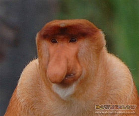 Proboscis Monkeys, also sometimes called