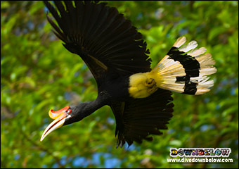 A hornbill in flight contrasted by the jungle canopy in the background