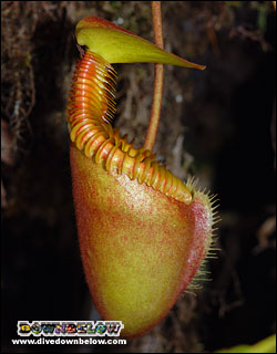 Nepenthes Pitcher Plants commonly found in Kinabalu Park