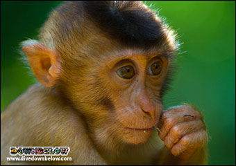 A little pig tailed macaque monkey using a tooth pick