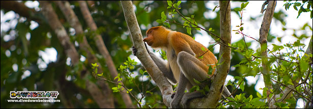 Proboscis monkey perched in a tree along the river, spotted on a cruise