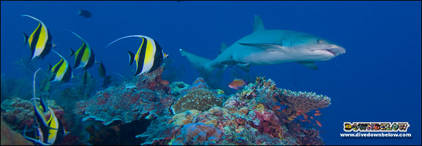 Plenty of Reef Shark Action when Diving Sipadan Island