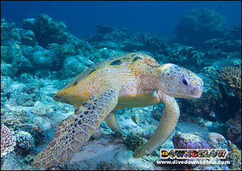 One of many turtles at Sipadan
