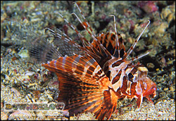 A blackfoot lionfish giving the camera The Eye