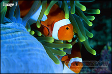 Clownfish, a.k.a. Nemo, in their natural habitat of anemones
