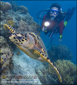 Hawksbill Turtle - note the beak-like mouth and 2 pairs of prefrontal scales