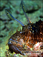 False Eyes of Lionfish