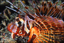 Lionfish with venomous spines