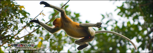 Proboscis monkey leaping from a branch in the Kinabatangan area