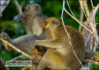 Macaques spotted in the jungle near the Borneo Rainforest Lodge